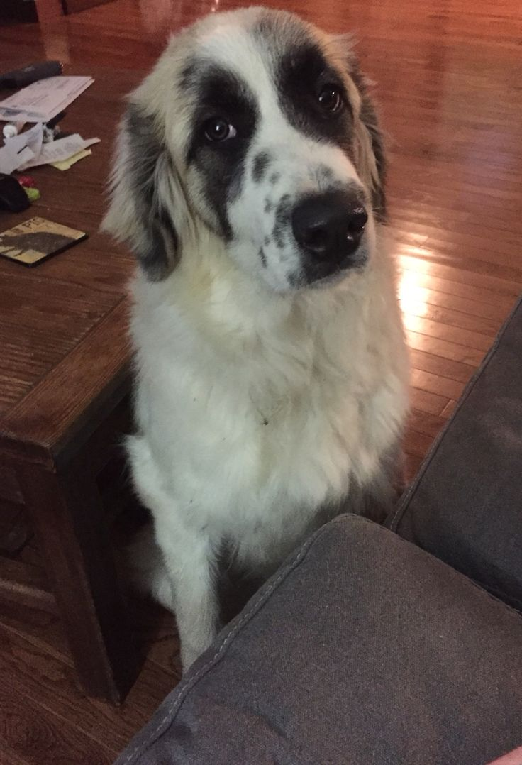 Ford the Great Pyrenees/Anatolian Shepard mix ❤️❤️