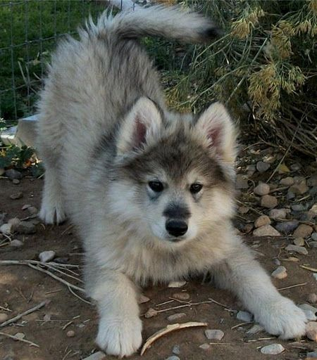 This is a hybrid wolf pup they are beautiful and smart
