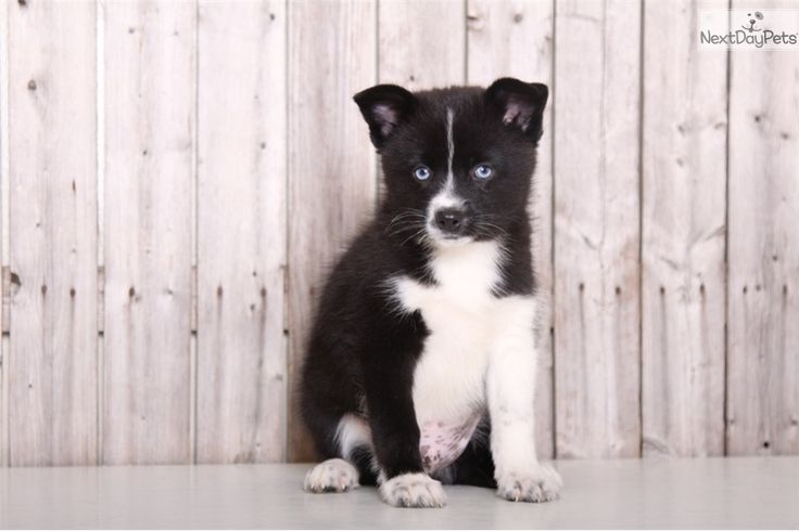 Comet: Pomsky puppy for sale near Columbus, Ohio | b317e464-9451