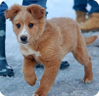 Unionville, PA - Golden Retriever/Australian Shepherd Mix. Meet Denver a Puppy for Adoption.
