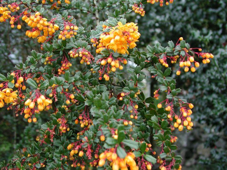 Late Winter: berberis darwinii | Berberis darwinii - Evergreen
