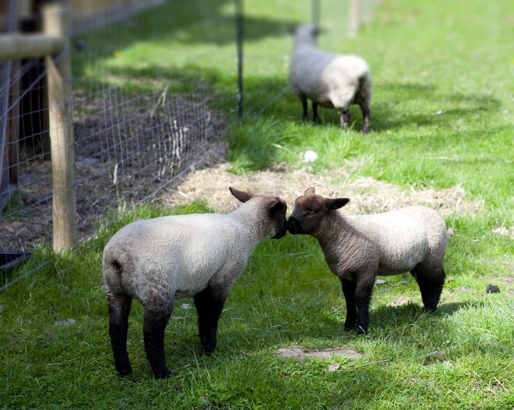 Baby Sheep Kissing