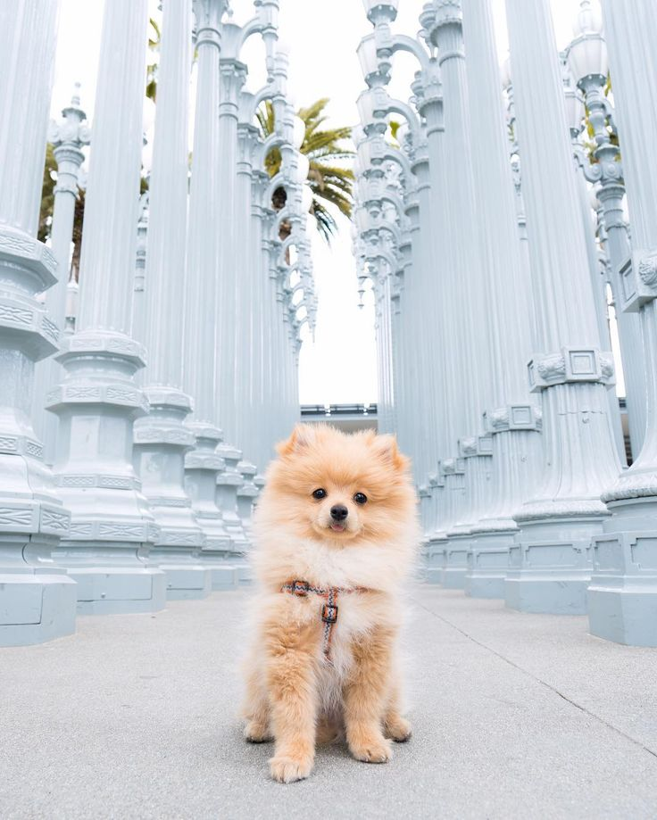 "King Kong Da Savage Pom (@kongdasavage) on Instagram: ""My full name is Young Doggie King Kong Da Savage Pom """