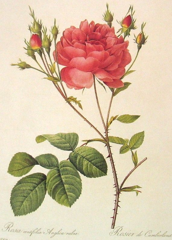 """Roses.  Pierre Joseph Redoute (1759 - 1840 ), Belgian painter and botanist, known for his watercolours of roses, lilies and other flowers at Malmaison. He was nicknamed """"The Raphael of flowers"""".  He was an official court artist of Queen Marie Antoinette, and he continued painting through the French Revolution and Reign of Terror."""
