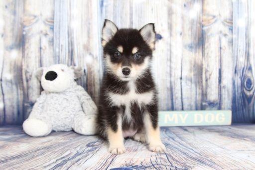 Pomsky Puppy For Sale In Naples Fl Adn 59886 On Puppyfinder Com