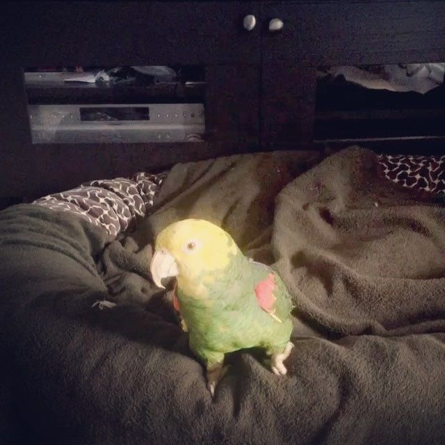 I walked into the room and found him on the dogs bed! Lol 🐤 #ChicoGives0Fucks  #dogbed #finderskeepers #parrot #bird #parrotsofinstagram #birdsofinstagram #dog #bandog #bandoggesofinstagram #dogsofinstagram #family