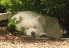 He looks like my brothers dog Klondike, what a beautiful baby!!
