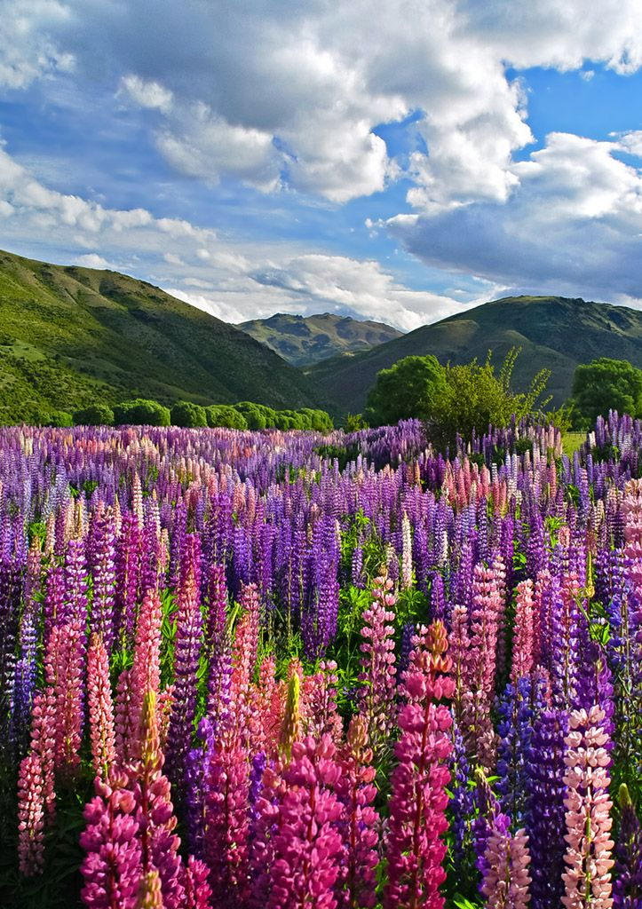 lupin fields in new zealand