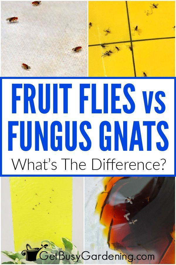 Fungus Gnats Vs Fruit Flies What S The Difference Fruit Flies