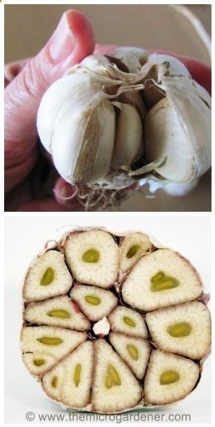 Grow garlic now...after reading this I will NEVER buy garlic again!
