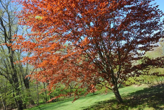 copper beech spring