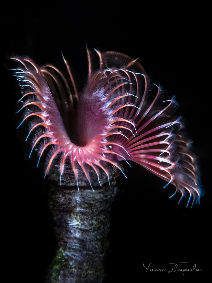 Serpula vermicularis (Red tubicolous worm)
