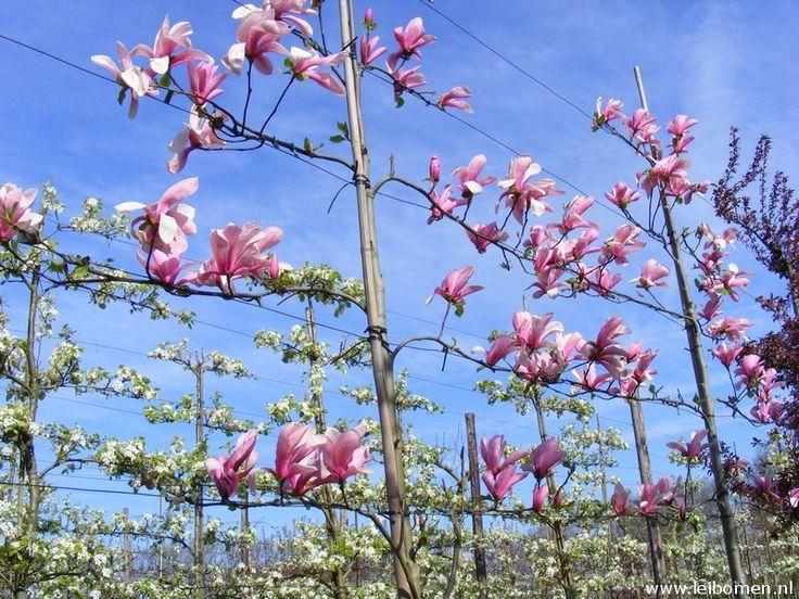 Magnolia leiboom