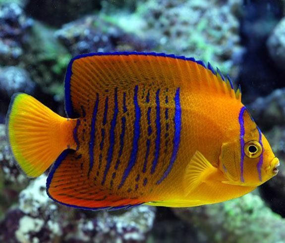 Best 25 tropical fish ideas on pinterest fish colorful for Saltwater pet fish