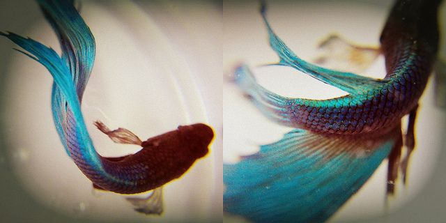 27 best betta fish ideas images on pinterest under the for Betta fish care water