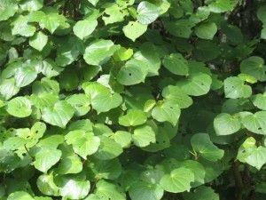 Magical Maori bush remedies