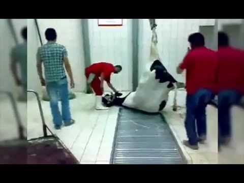 EXPORT DAIRY- A PREGNANT COW SLAUGHTERED IN TURKEY WITH NEW BORN CALF - YouTube