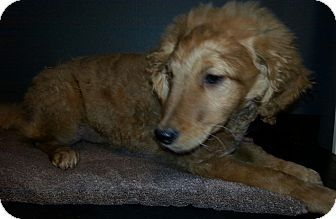 antwerp, OH - Goldendoodle Mix. Meet Mini Golden Doodle, a puppy for adoption. http://www.adoptapet.com/pet/17766901-antwerp-ohio-goldendoodle-mix