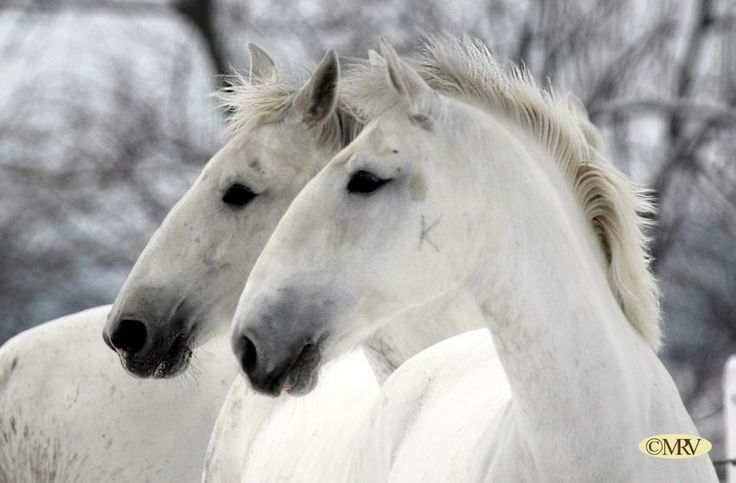 #white #Kladruber #horses #winter #snow