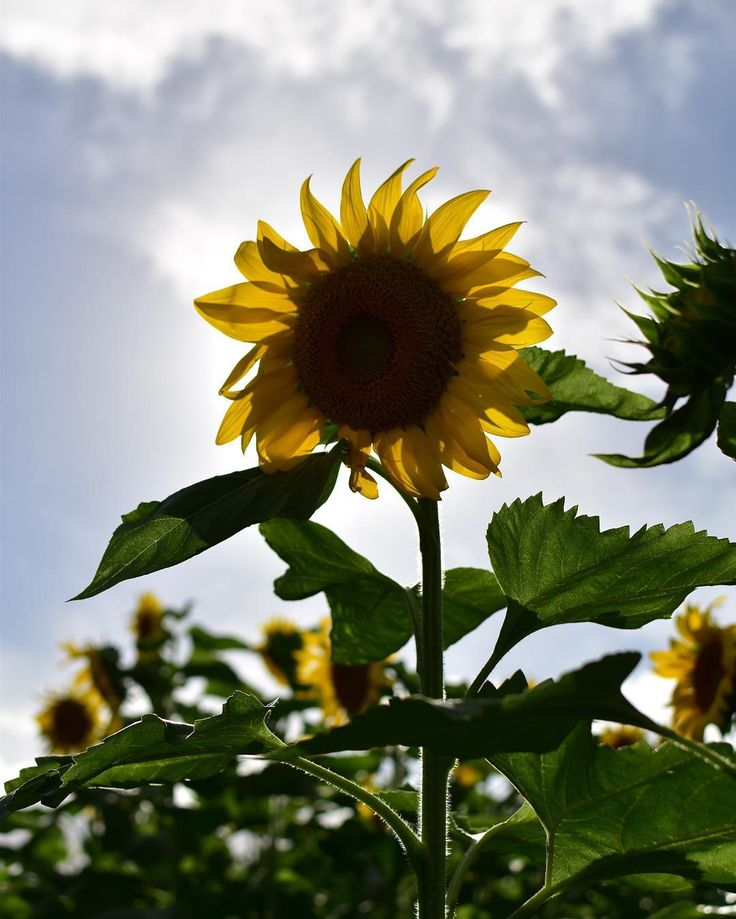Sunflowerfield in Haleiwa @redbarnfarmstnd #sunflower #haleiwa #haleiwatown #oahu #hawaii #flowers #sun #summer #northshore #adventure #etsy #etsystore #photooftheday #picoftheday #photography #farm #sunflowerfield #hippie #chic #bohochic #christmas #paradise #photoshoot