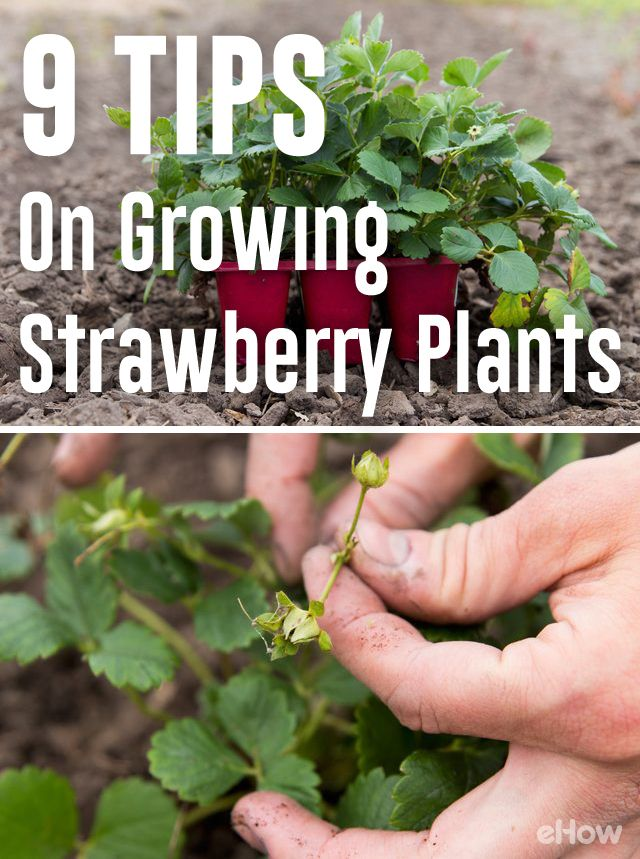 Planning to grow strawberries? These tips are very helpful! http://www.ehow.com/way_5270030_tips-growing-strawberry-plants.html?utm_source=pinterest.com&utm_medium=referral&utm_content=freestyle&utm_campaign=fanpage
