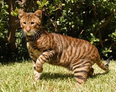 Toyger - domestic cats bred to look like tigers