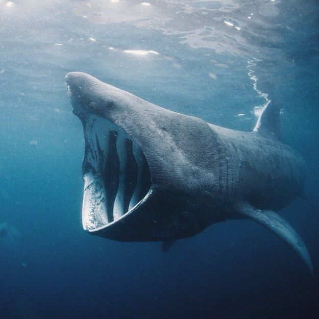 a study on the basking sharks the second largest living fish Basking sharks are the second largest living shark, easily distinguished by their huge mouths these slow, harmless sharks often swim with their mouths open wide in.