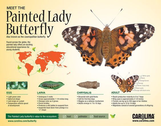 Infographic: Meet the Painted Lady Butterfly