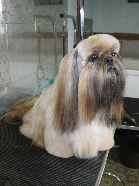 images of shih tzu haircuts 105 best images about shih tzu hair cuts on pinterest 4264
