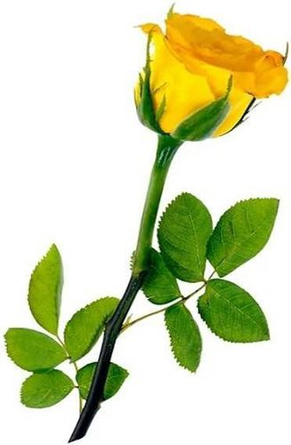 17 Best images about Yellow Rose on Pinterest | Friendship, Julia ...