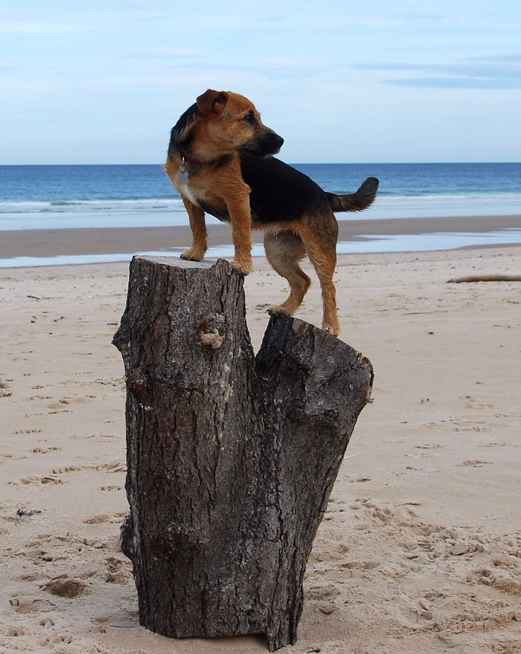 Bella enjoying Lossiemouth Beach, Scotland.  Learn more about dog friendly holidays in Scotland at www.dogsinvited.co.uk