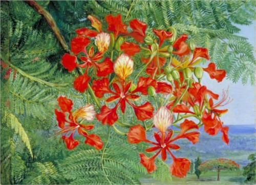 Marianne North (British: 1830-1890) | Foliage and Flowers of a Madagascar Tree ( Royal Poinciana )