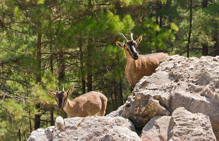 Cretan ibex (Kri – Kri)