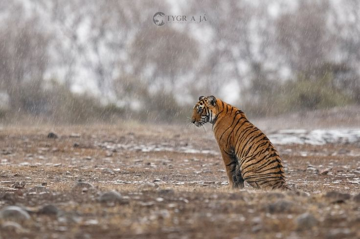 The first sign of monsoon in Ranthambhore - For more information about tigers follow me on www.tiger-and-me.com