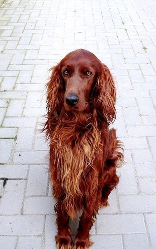 The Irish Setter. Absolutely beautiful dog, with a sweet temperament.
