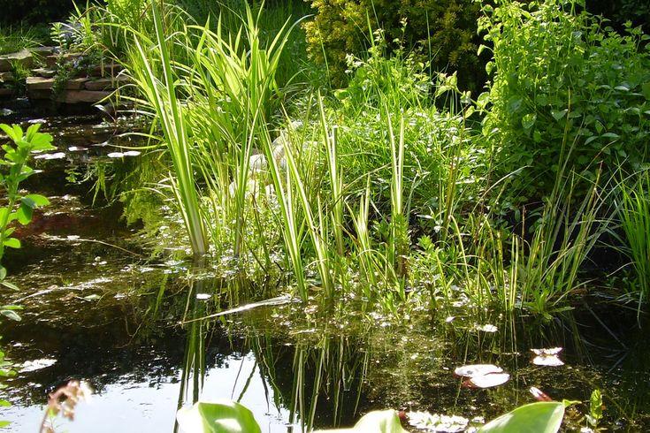 Vijverplanten kopen voor helder water: Tips en info