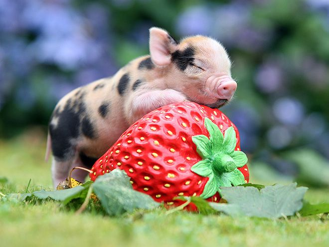 STRAWBERRY PIGLET  It hardly seems fair that something so tiny could be so very cute, but this micro-piggy from England's famed Pennywell Farm did it anyway, leaving the rest of the world to squeal while it enjoyed hugging a strawberry.