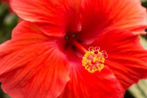 Hibiscus, rosa, sinensis, fim, cima, vermelho, flor, cabeça