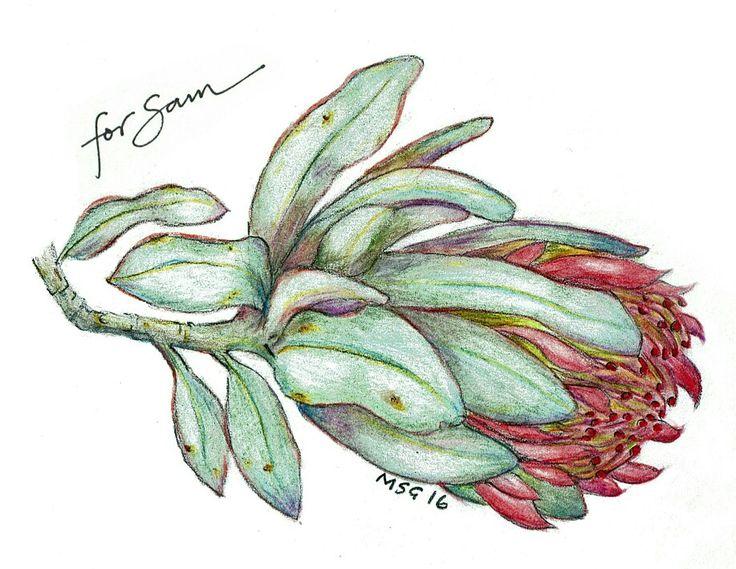 Protea, drawn as a birthday gift for a friend. Colour pencil, watercolour pencil, graphite.