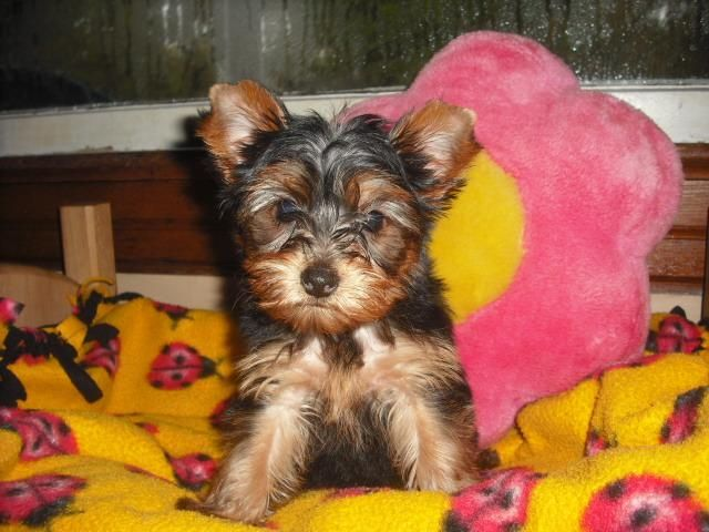 Petfinder Adoptable Yorkshire Terrier Yorkie Dog Mansfield Oh