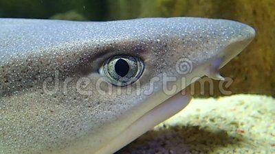 A reef shark  head breathing