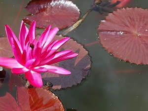 Nymphaea rubra - Ninféia-vermelha - Suas folhas flutuantes são grandes, arredondadas e com bordas serrilhadas. As flores, elevadas acima do nível da água, são formadas no verão, e se abrem brancas, tornando-se róseas com o passar do tempo. Pode ser cultivada em lagos, tanques e espelhos de água, sempre a pleno sol. Convive com peixes.