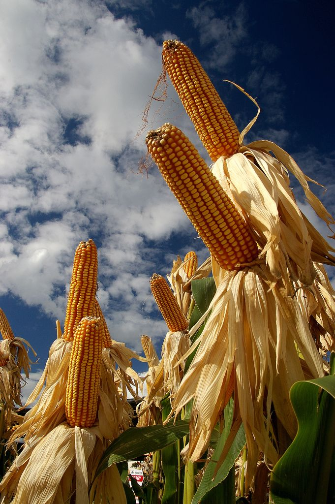 Corn By EdmilsonFeldmann, via Flickr