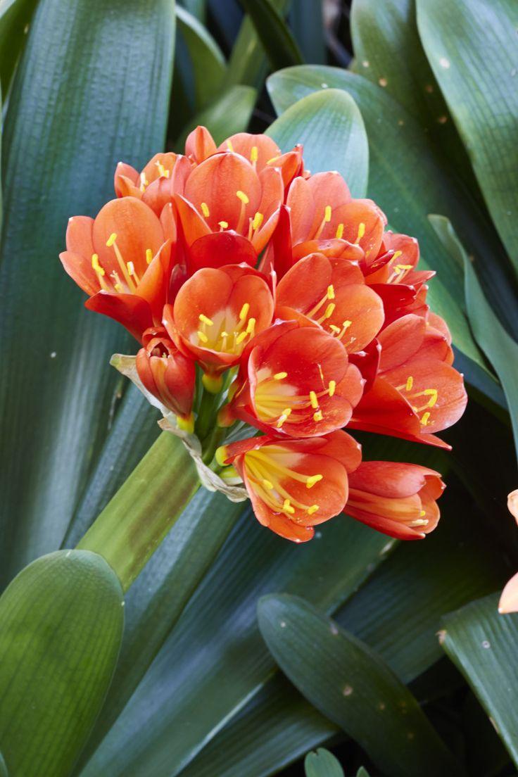 Dis clivia-tyd! Dié inheemse wonders, ook bekend as boslelies, kondig die koms van die lente met...
