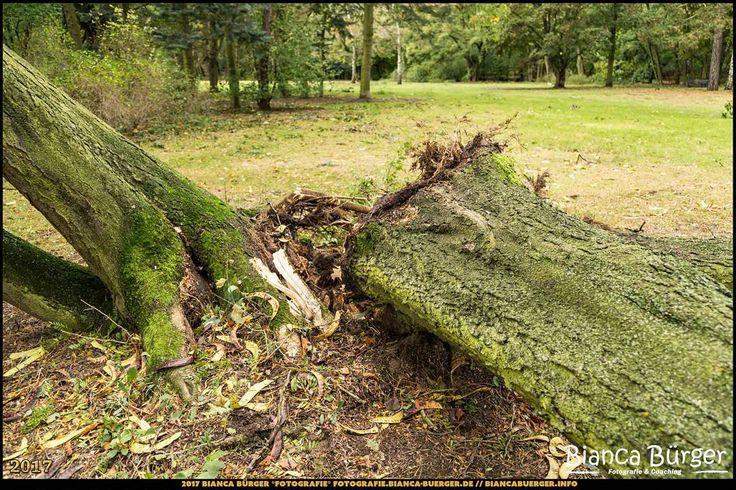 Kienhorstpark nach Orkan Xavier (Okt 2017) #Berlin #Reinickendorf #Kienhorstpark #Deutschland #Germany #biancabuergerphotography #igersgermany #igersberlin #IG_Deutschland #IG_berlincity #ig_germany #shootcamp #pickmotion #berlinbreeze #diewocheaufinstagram #berlingram #visit_berlin #canon #canondeutschland #EOS5DMarkIII #Park #OrkanXavier #travel #tree