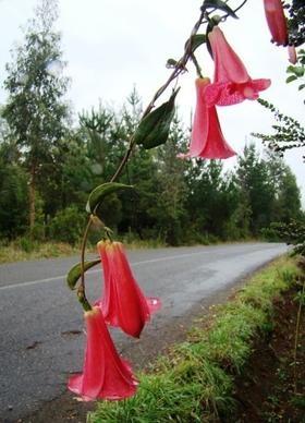 Flor Nacional, Chile