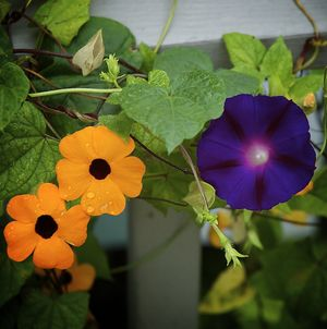 Black-eyed Susan vines can be spectacular in containers.: Black-Eyed Susan Vine, Grandpa Otts Morning-Glory