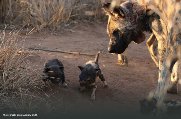 Wild dog and pups A Smith
