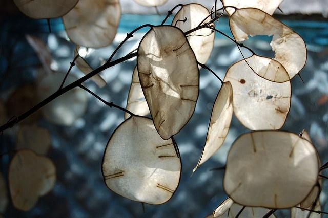 LA LUNAIRE (Monnaie du Pape), Brassicaceae Lunaria Annua, plante dicotylédones, bisannuelle, aime les endroits semi-ombragés, à planter à l'automne. Racines comestibles, feuilles aux propriétés diurétiques.