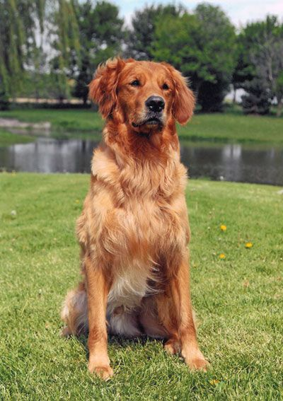 red golden retrievers - Google Search